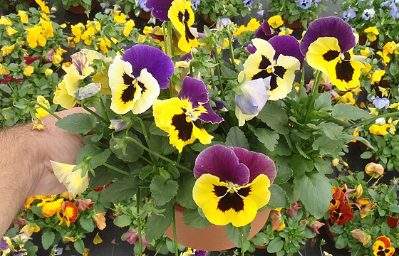 FN 1.14 Pansy Color Bowl