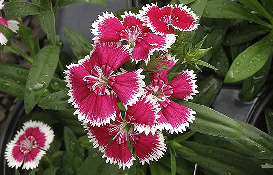 FN 2.6 Dianthus Picotee2 park seed